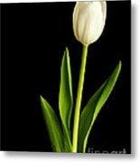 Single White Tulip Over Black Metal Print by Edward Fielding