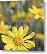 Single Yellow Daisy Metal Print