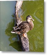 Sitting Duck Metal Print