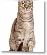 Sitting Gray Tabby Cat Metal Print by Susan Schmitz