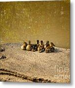 Six Ducklings In A Row Metal Print
