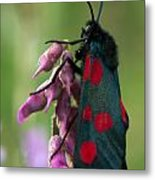 Six Spotted Burnett Moth Metal Print