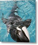 Skana Orca Vancouver Aquarium Pat Hathaway Photo1974 Metal Print