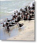 Skimmers On The Beach Metal Print by Carol Groenen