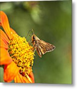 Skipper Butterfly On An Orange Flower Metal Print