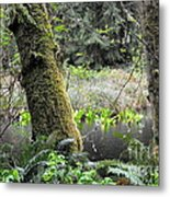 Skunk Cabbage Blooming In Washington State Forest  3 Metal Print