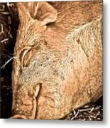 Sleeping And Smiling Pig Metal Print