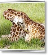 Sleeping Giraffe Metal Print