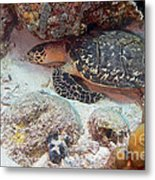 Sleeping Hawksbill Sea Turtle Metal Print