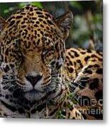 Sleeping Jaguar Metal Print