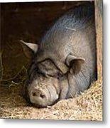 Sleeping Pig Metal Print