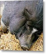 Sleeping Sow Metal Print
