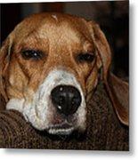 Sleepy Beagle Metal Print