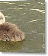Sleepy Cygnet Metal Print