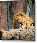 Sleepy Lion Metal Print