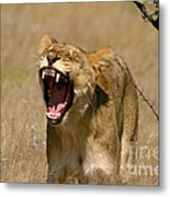 Sleepy Lioness Metal Print