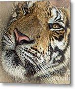 Sleepy Tiger Portrait Metal Print