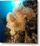Slimy Leather Coral And Tropical Reef In The Red Sea. Metal Print