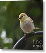 Gold Finch Resting Metal Print
