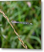 Small Blue Dragonfly Metal Print