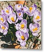 Small Crocus Flower Field Metal Print