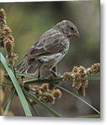 Small Ground-finch Female Feeding Metal Print