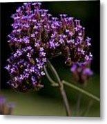 Small Purple Flowers On A Verbena Plant Metal Print