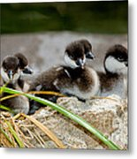 Smew Ducklings On Shore Metal Print