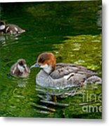 Smew With Ducklings Metal Print