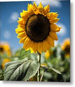 Smile Sunflower Metal Print by Jason Bartimus