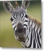 Smiling Burchells Zebra Metal Print