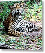 Smiling Jaguar Metal Print