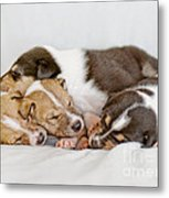 Smooth Collie Puppies Taking A Nap Metal Print