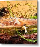 Smooth Or Common Newt  Metal Print