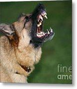 Snarling German Shepherd Dog Metal Print