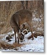 Sniffing Stag Metal Print