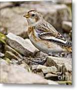 Snow Bunting Pictures 43 Metal Print