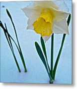 Snow-capped Daffodil On May 21 Near Des Chutes National Forest-or  Metal Print