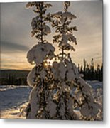 Snow Capped Sitka Spruce Metal Print