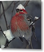Snow Covered Pine Grosbeak Metal Print