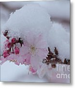 Snow Covered Pink Cherry Blossoms Metal Print