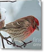 Snow Day Housefinch  Metal Print