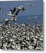 Snow Geese At Skagit Metal Print