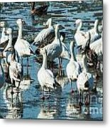 Snow Geese Discussion Metal Print
