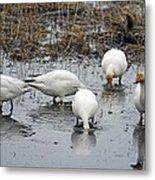Snow Geese Muddy Waters Metal Print