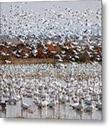 Snow Geese No.4 Metal Print