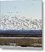 Snow Geese Taking Off At  Loess Bluffs National Wildlife Refuge Metal Print