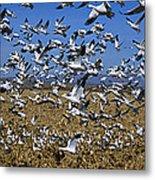 Snow Goose Flock Taking Off Metal Print