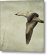 Snow Goose In Flight Metal Print