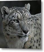 Snow Leopard 15 Metal Print